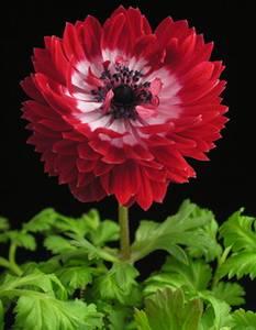 anemone des fleuristes