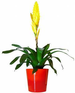 Bromelia conseils trucs et astuces plantes du jardin et for Plante interieur exotique