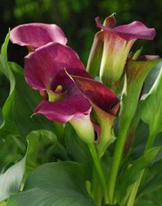 Calla fleurs entretien - Calla plante d interieur entretien ...
