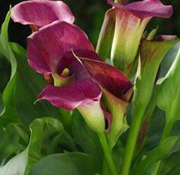 Quand planter zantedeschia for Www jardiner malin fr
