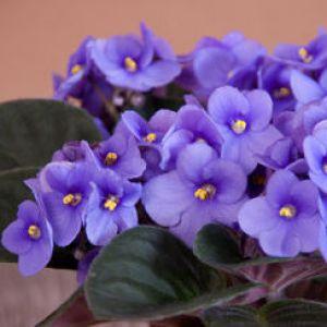 Violette africaine tous les conseils d 39 entretien for Violette africane