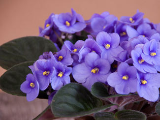 African violet, the most grown flower on the planet!