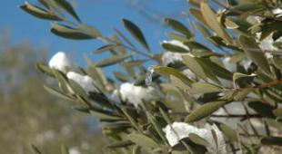 olivier en hiver