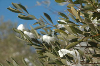 Prot ger son olivier du froid en hiver - Comment proteger les arbres fruitiers du gel ...