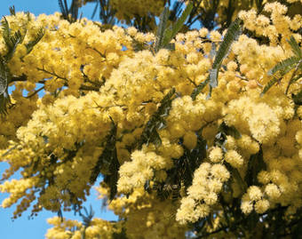 Acacia dealbata, the winter mimosa tree