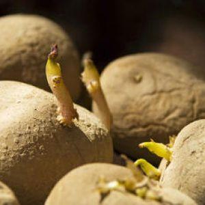 Faire germer les pommes de terre p riode et technique - Faire germer des pommes de terre ...