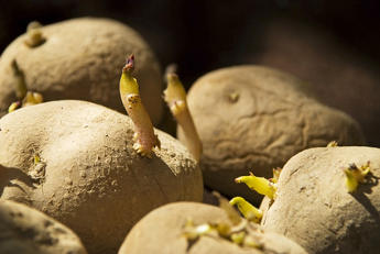 Germinating potatoes at the right moment