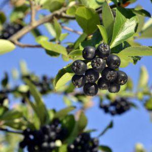 Aronia plantation taille et r colte des fruits - Arbre murier fruit comestible ...
