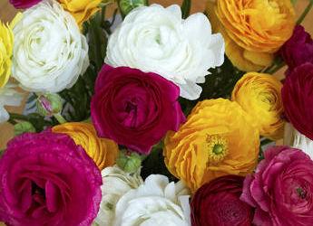 Renoncule  des fleurs uniques