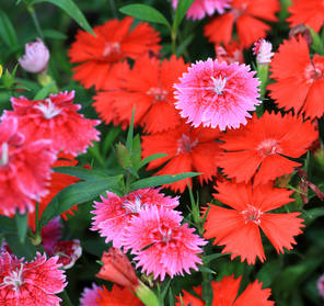 "Dianthus, the ""flower of the Gods"""