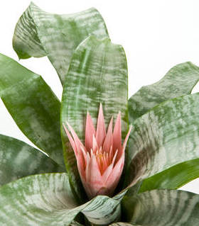 Aechmea, a beautiful plant with pastel hues