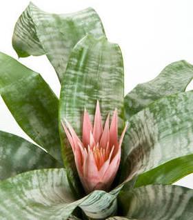 Entretien de bromelia excellent plantes du jardin et de for Plante bromelia
