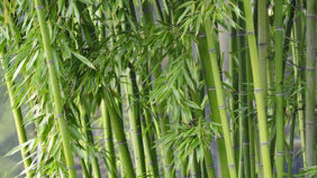 Comment Se Débarrasser Des Bambous Dans Le Jardin bambous envahissants : les solutions pour s'en débarrasser