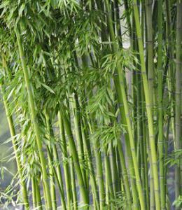 Le guichet du savoir consulter le sujet comment en d duire l 39 age du b - Comment traiter le bambou ...