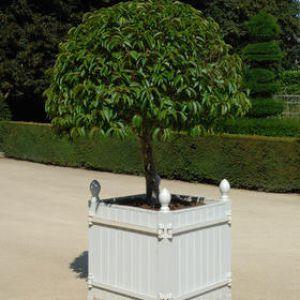 Laurier du portugal plantation taille et conseils d for Arbuste en pot exterieur