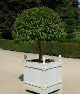 Prunus lusitanica myrtifolia arbres arbustes et rosiers - Laurier tige en pot ...