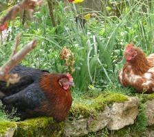 Poules jardin