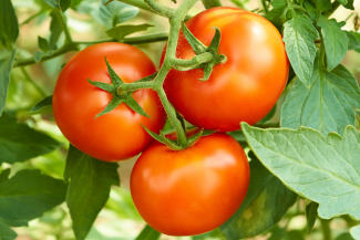 Tomatoes without diseases