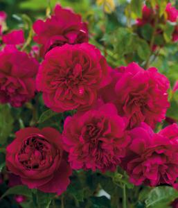 david austin rosier