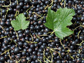 cassissier d ssechement des fruits avant maturation arbres arbustes et rosiers forum du. Black Bedroom Furniture Sets. Home Design Ideas