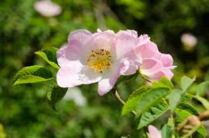 eglantier floraison fleur