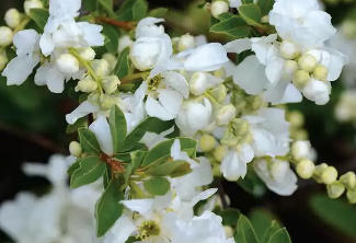 Exochorda, the pearl bush