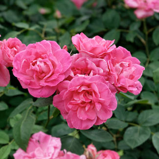 Roses, a paradise for roses in Touraine