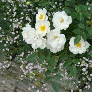 bien associer les rosiers avec les fleurs et les plantes. Black Bedroom Furniture Sets. Home Design Ideas
