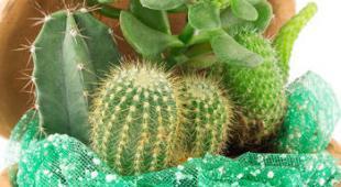 1378306977cactussucculente