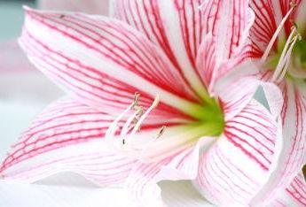 Amaryllis faire durer la floraison for Amaryllis exterieur