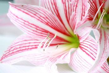 Amaryllis faire durer la floraison for Planter bulbe amaryllis