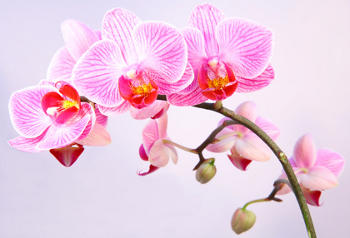 Orchid, how to make the blooming last