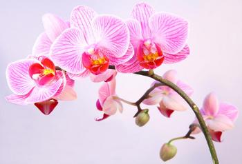 Faire durer la floraison d 39 une orchid e - Comment couper orchidee apres floraison ...