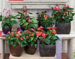 Plantes d 39 int rieur entretien pendant l 39 hiver - Calla plante d interieur entretien ...