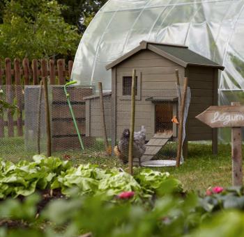 Dur e de vie d 39 une poule plantes du jardin et de la for Duree de vie des poules pondeuses