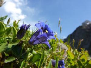 Gentiane plantation entretien et taille - Pensee fleur vivace ou annuelle ...