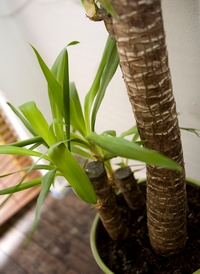 Help yucca d perri apr s rempotage plantes du jardin et for Entretien jacinthe interieur