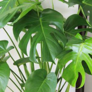 Monstera entretien rempotage arrosage for Arrosage plante interieur