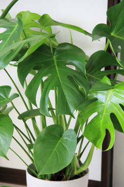 Monstera, noted for its foliage