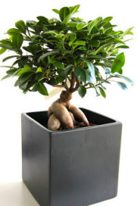 ficus ginseng taille arrosage et conseil d 39 entretien. Black Bedroom Furniture Sets. Home Design Ideas