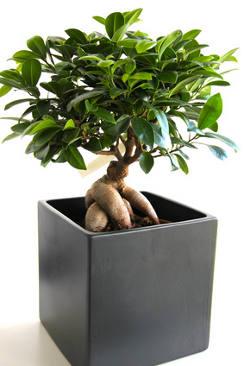 Ficus ginseng : taille, arrosage et conseil d\'entretien