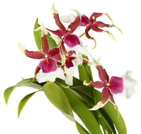 Cambria tous les conseils d 39 entretien - Comment couper orchidee apres floraison ...