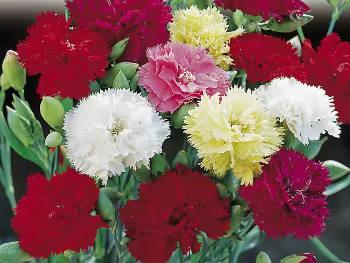 Clove Pink Carnation, the flower shop carnation