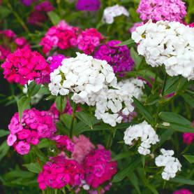 Dianthus barbatus, Sweet Williams carnation