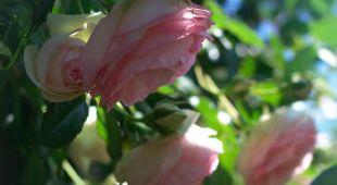 Taille du rosier buisson arbustif technique et p riode - Taille des rosiers periode ...