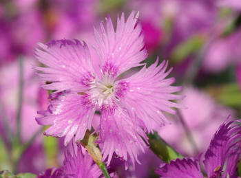Garden Pink Sowing Planting And Advice On Caring For It