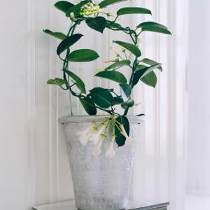 plante verte stephanotis
