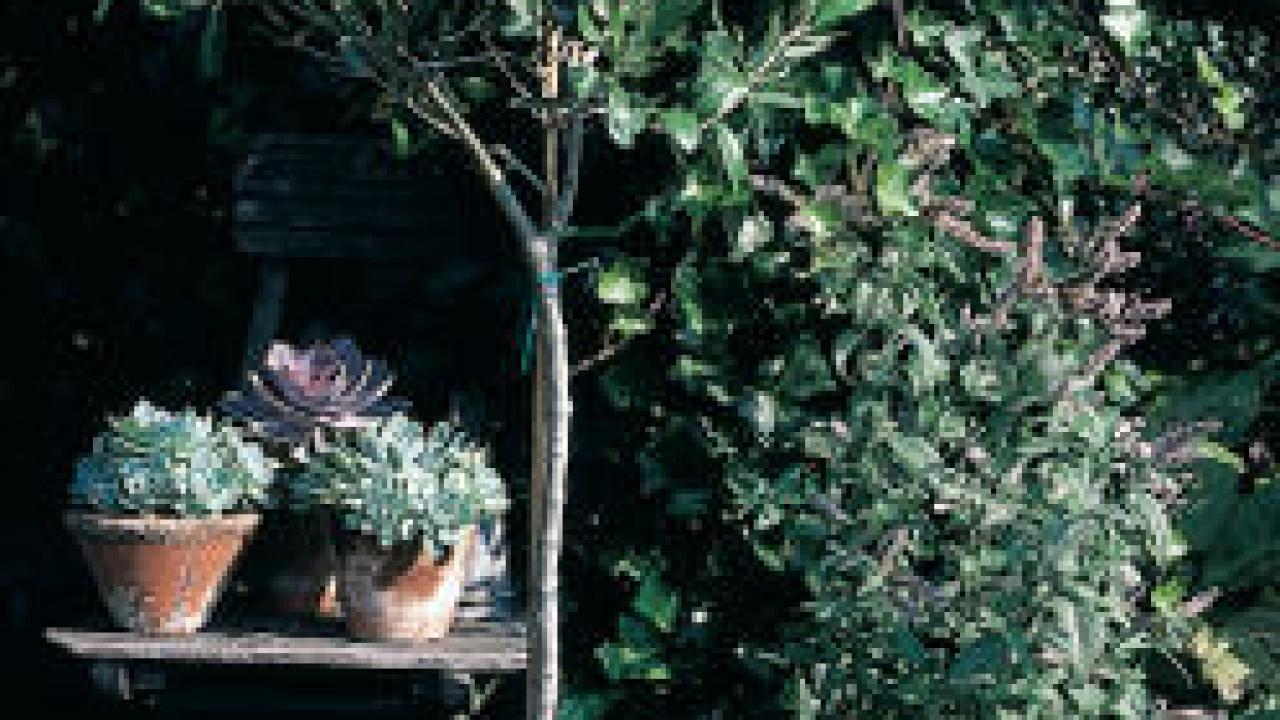 Il Cultive L Olivier olivier dans le nord, c'est possible