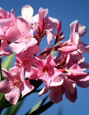 Laurier amende et maladie inconnue plantes du jardin et de la maison forum du jardin et du - Maladie laurier rose feuilles seches ...