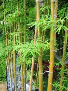 Bien choisir ses bambous